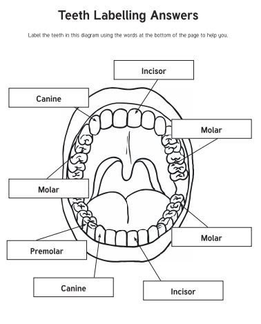 Teeth labelling answers